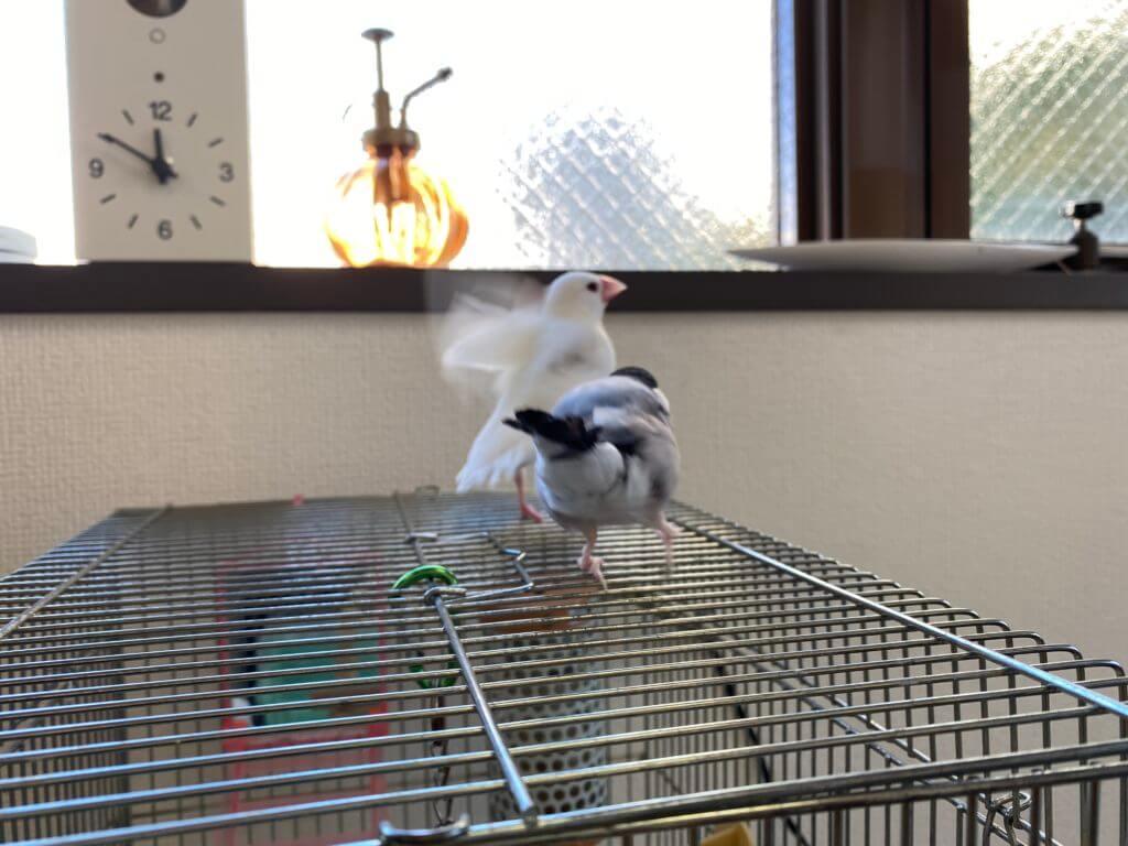 桜文鳥のラムネくんが白文鳥のチロルちゃんに喧嘩をしかける