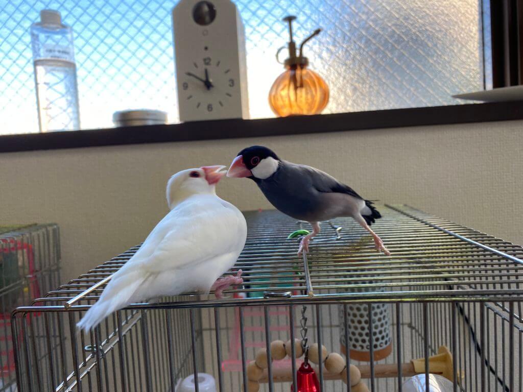 白文鳥のチロルちゃんが負けじと応戦