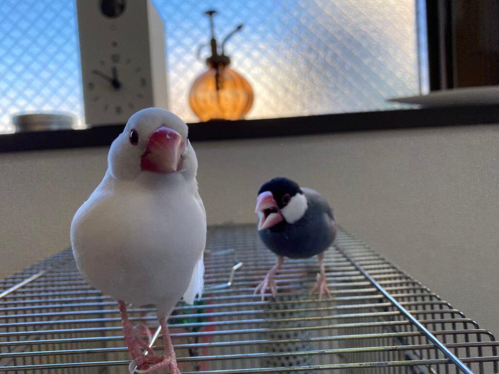 白文鳥のチロルちゃんに愛想をつかれて逃げられてしまう桜文鳥のラムネくん