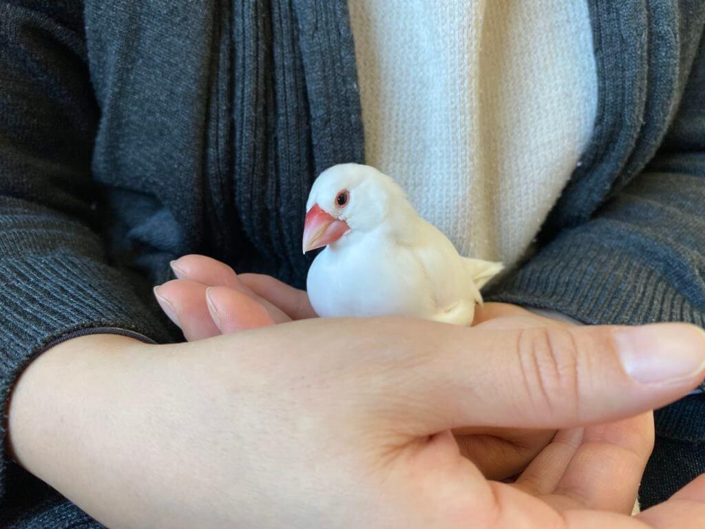 お母さんの手の中で落ち着く白文鳥のチロルちゃん