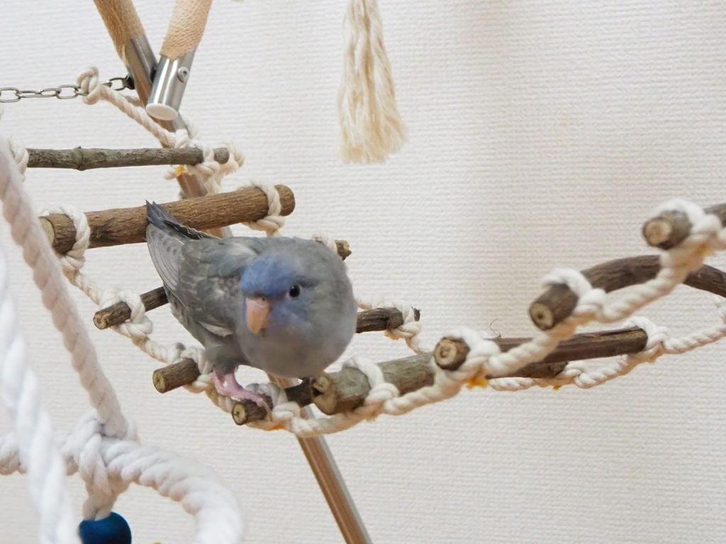 ヤスさん手作りの縄ばしごに乗るサザナミインコのくるみちゃん。