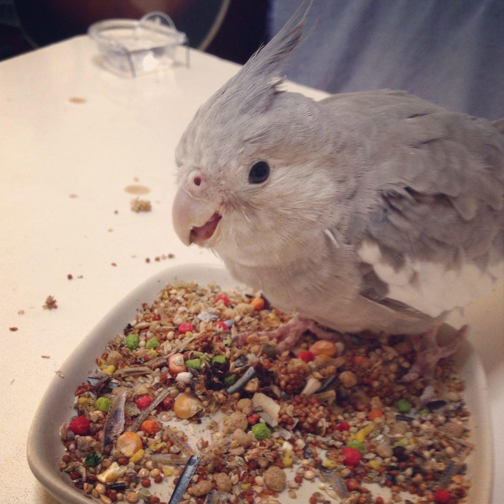 お迎えした当初のオカメインコのポテトくんがショップオリジナルのシードブレンドを食べている。