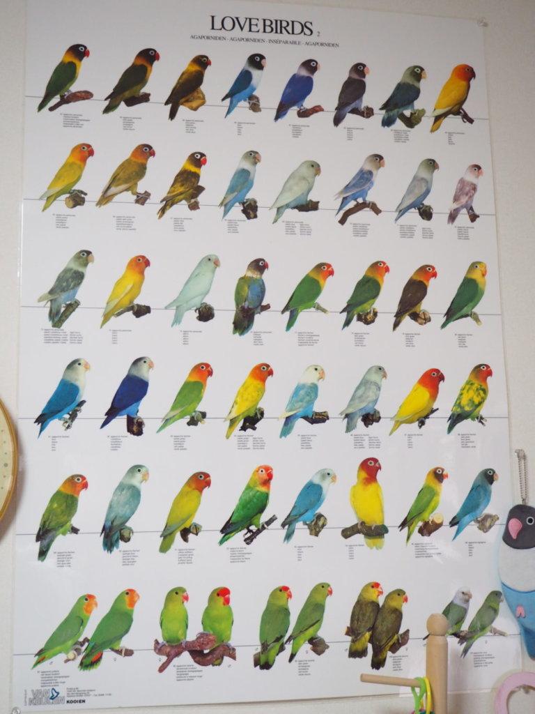 ラブバードがたくさん描かれたポスター