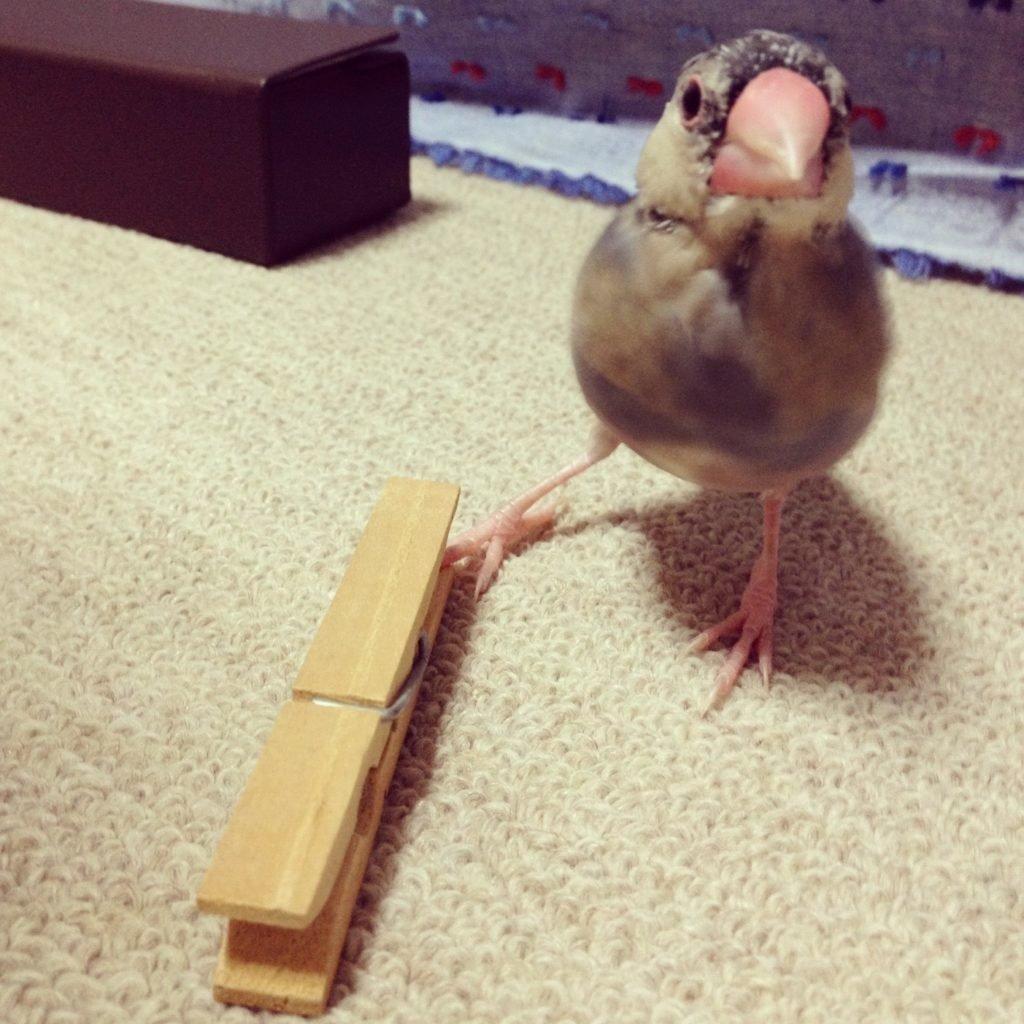 文鳥のラムネくんの雛換羽の途中経過。頭はツクツク。