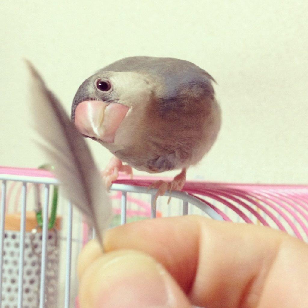 文鳥のラムネくん(生後3ヶ月あたり)の羽が抜け始める