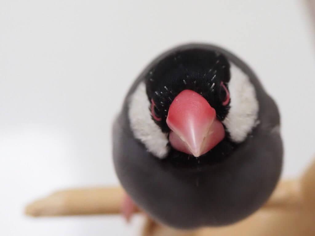 換羽期で頭ツクツクな文鳥のラムネくん