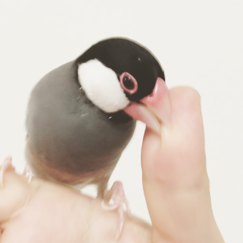 飼い主の指を噛む文鳥のラムネくん