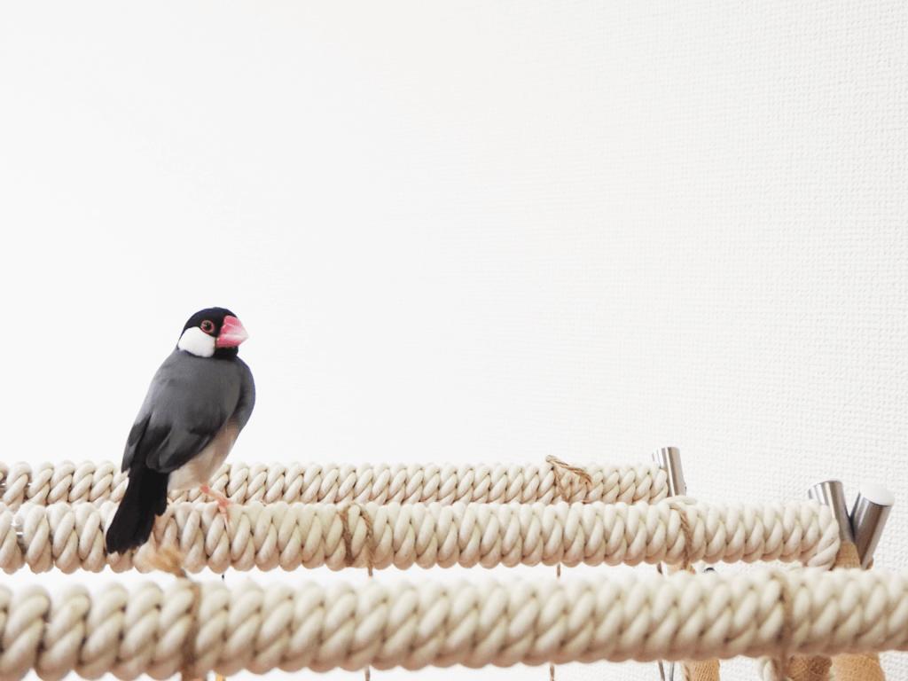 手作りバードアスレチックに乗ってこちらを振り向く文鳥のラムネくん