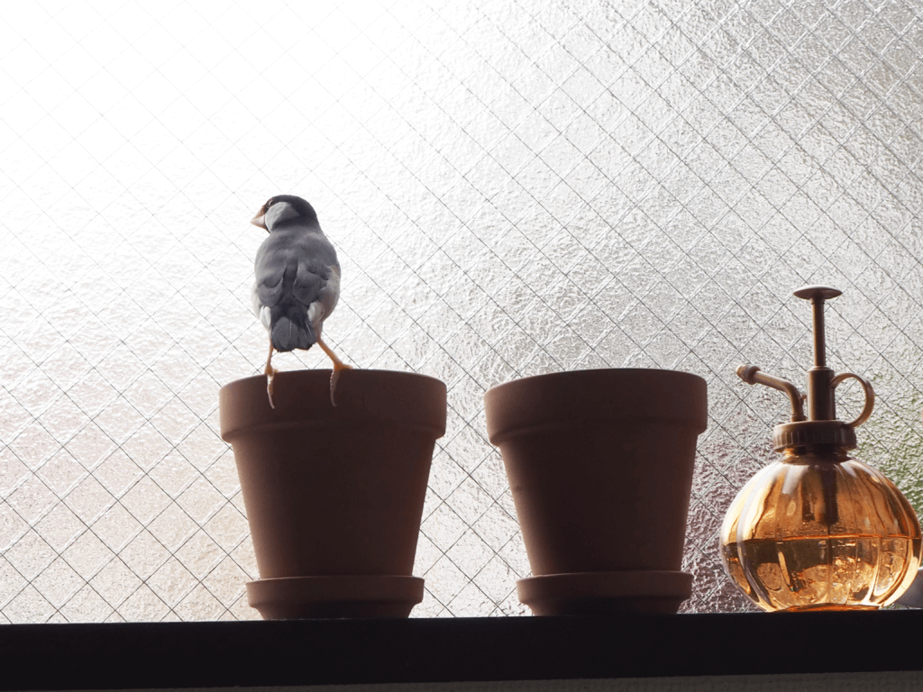 窓辺でたたずむ文鳥のラムネくん