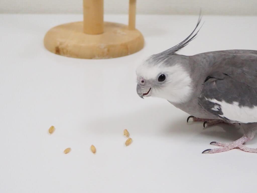 オカメインコのポテトくんがテーブルの上のえん麦を食べている