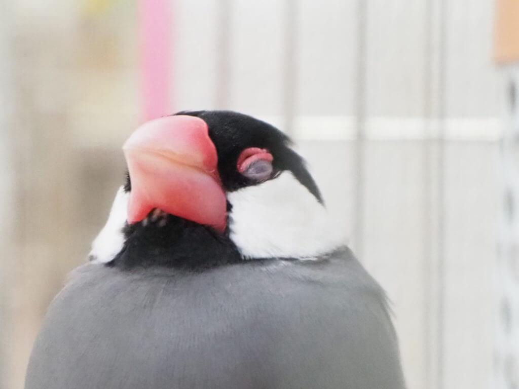 ケージの中で眠そうに目を閉じている文鳥のラムネくん
