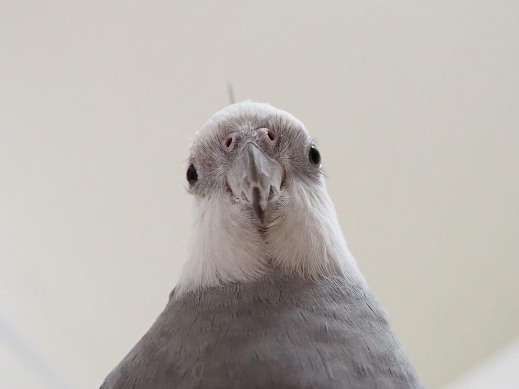 オカメインコのポテトくんの顔アップ。鼻につまりものはない。