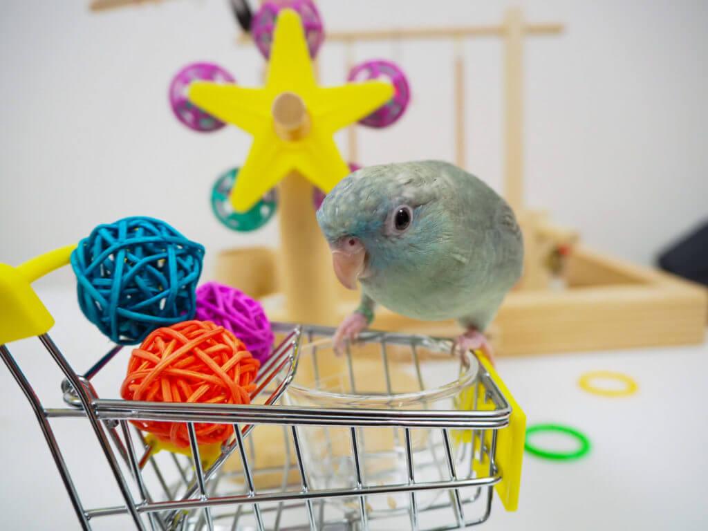 放鳥中、おもちゃのカートに乗っているサザナミインコのなすびくん