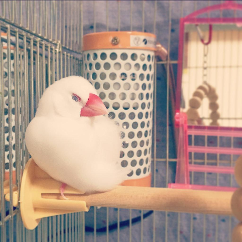 保温電球の前で眠っている文鳥のチロルちゃん