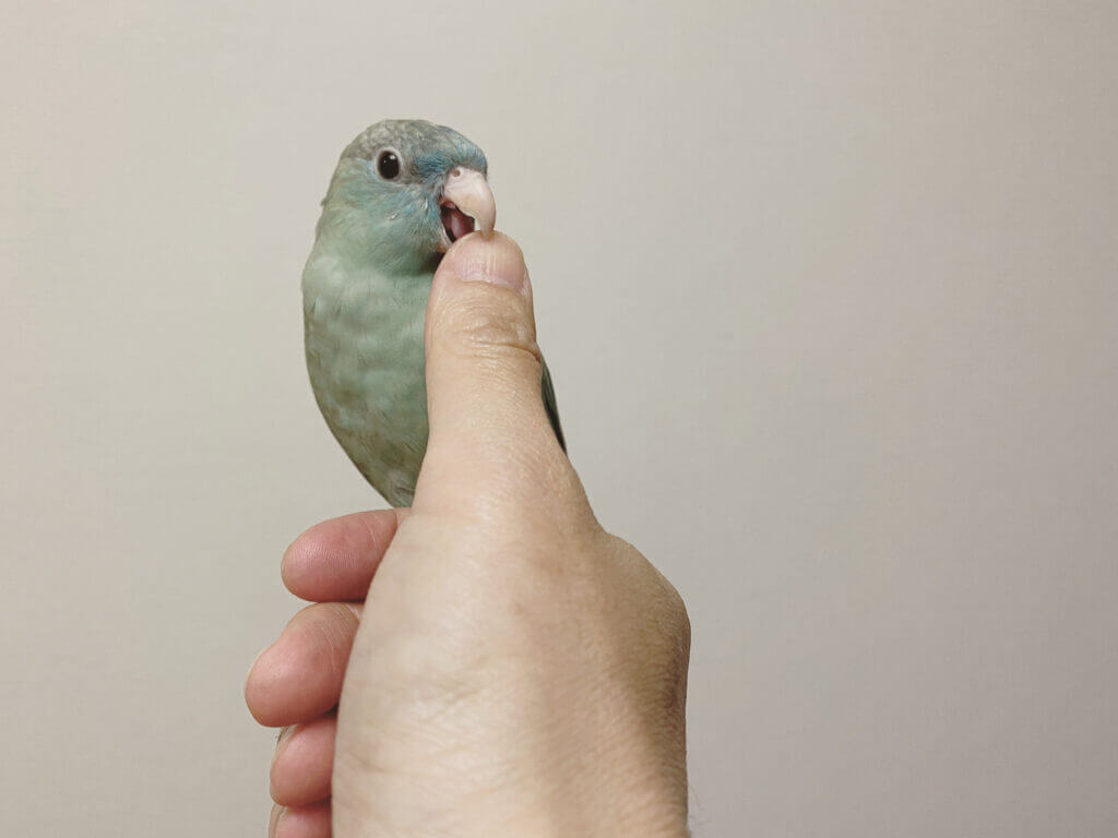 飼い主の指を噛むサザナミインコのなすびくん