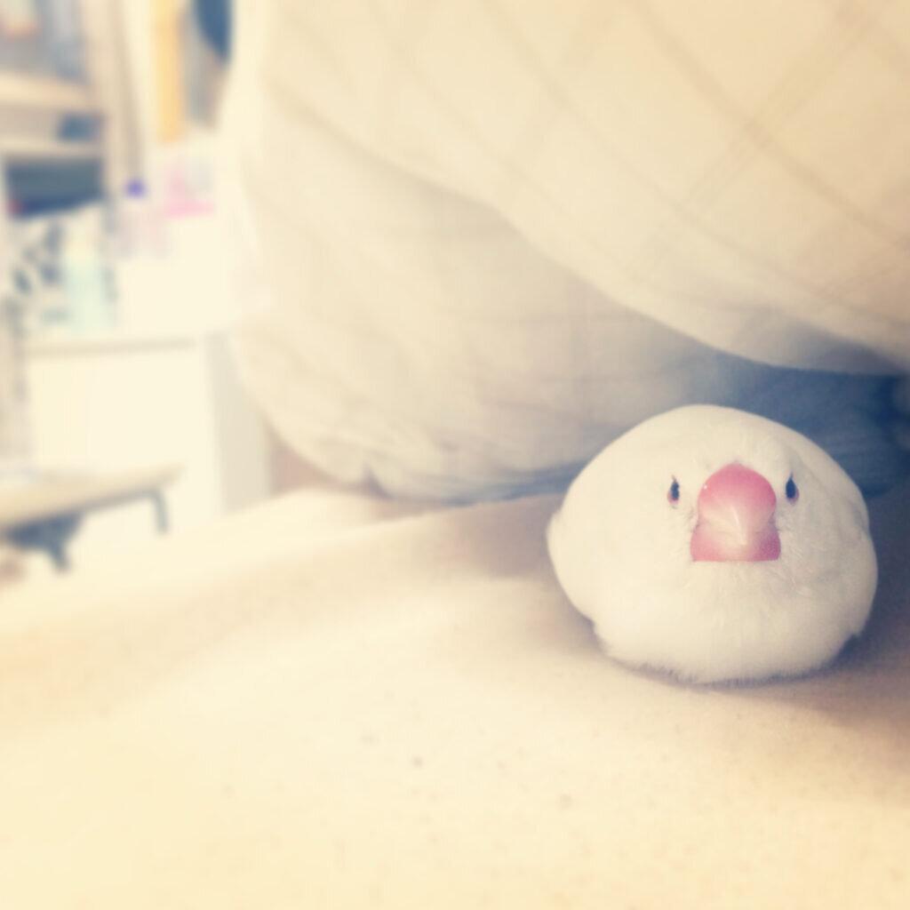 白文鳥のチロルちゃんが布団に潜り込んでいる