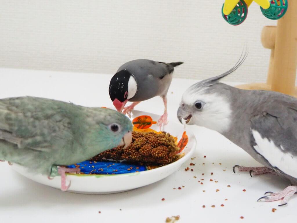 赤粟穂を食べる文鳥のラムネくん、オカメインコのポテトくん、サザナミインコのなすびくん