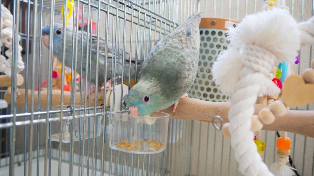 サザナミインコのなすびくんとくるみちゃんが、ケージの中で餌を食べている