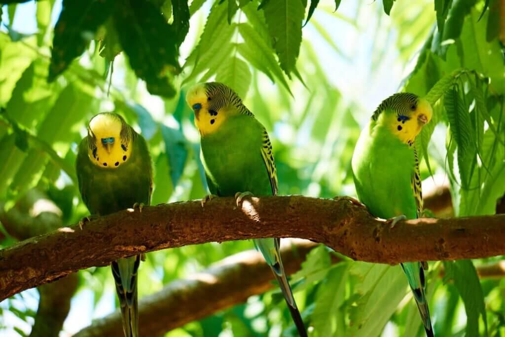 野生のセキセイインコが3羽で仲良く木の枝にとまっている